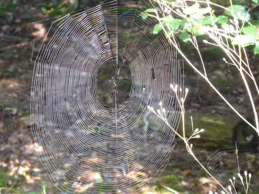 Radnetz der Eichblatt-Radspinne, bis zu 35 Spiralen voll in der Sonne in maximal 1 m Höhe