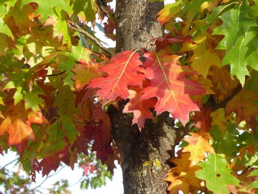 Rot-Eiche - Quercus rubra borealis. Blattlappen nach vorn gerichtet. Sehr oft mit reicher gelber bis roter Herbstfärbung.