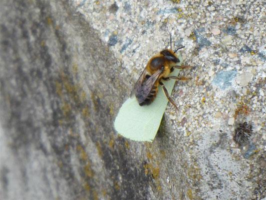 Totholz-Blattschneiderbiene - Megachile willoughbiella - die ausgeschnittenen Blätter werden für den Nistbau in Totholz gebraucht.
