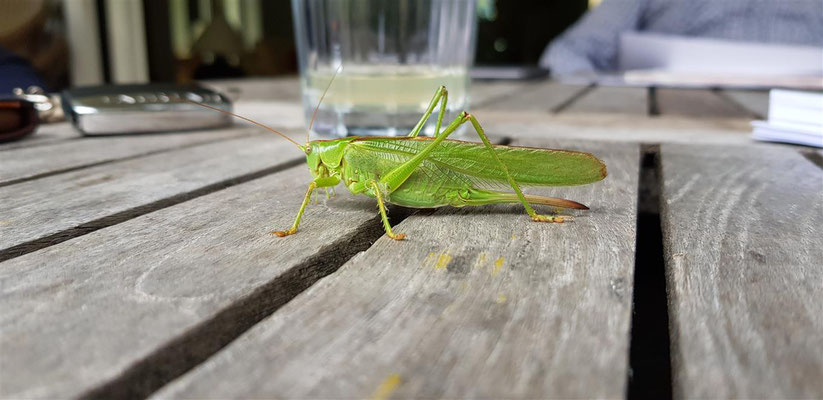 Grünes Heupferd - Tetigonia viridissima - Sehr nützlich, ernährt sich vor allem von Fliegen, Raupen etc.