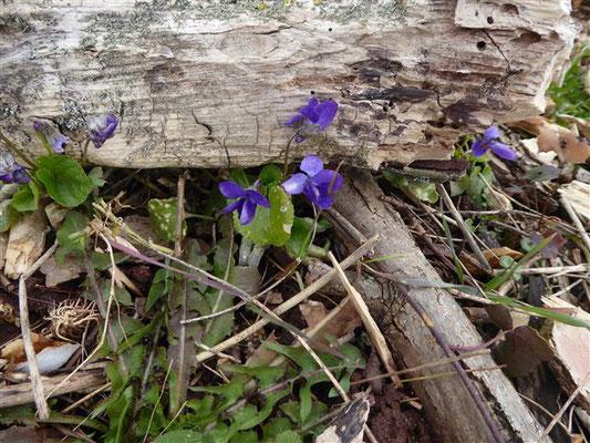 Wald-Veilchen - Viola reichenbachiana. Achten Sie auf den Sporn, er muss dunkelviolett sein.