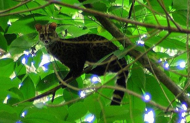 Genetta servalina endemica dell'isola di Unguja