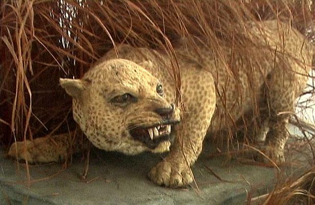 Leopardo di Zanzibar (forse estinto) nel Museo di Storia Naturale a Zanzibar Town