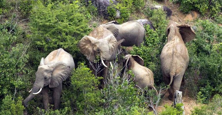 Branco di elefanti -  - Shimba Hills