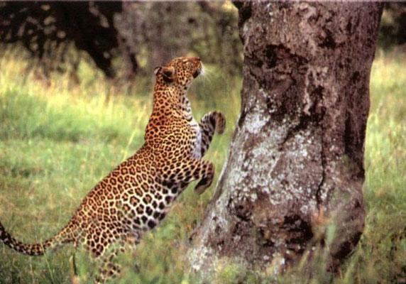 Leopardo - Shimba HillsServal