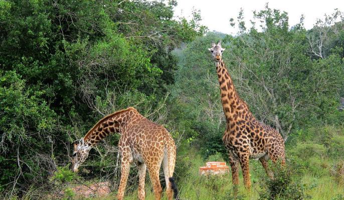 Giraffe - Shimba Hills