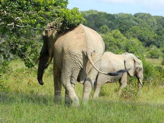 Elefanti - Shimba Hills