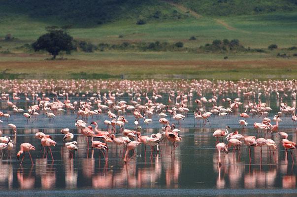 Cratere di Ngorongoro.Fenicotteri