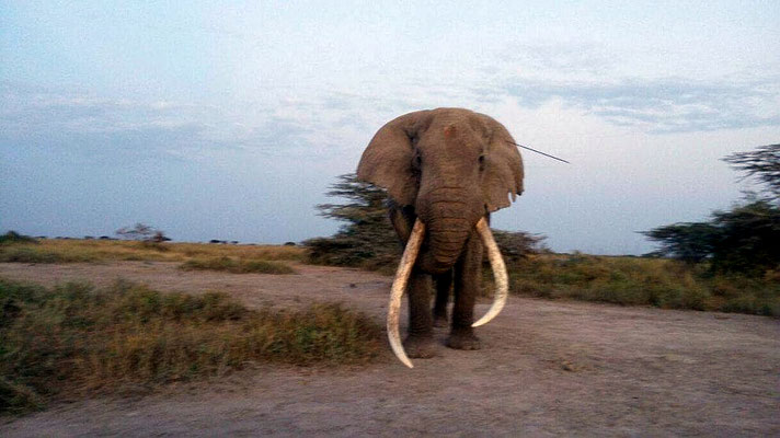 L'elefante Tim colpito in testa da una lancia