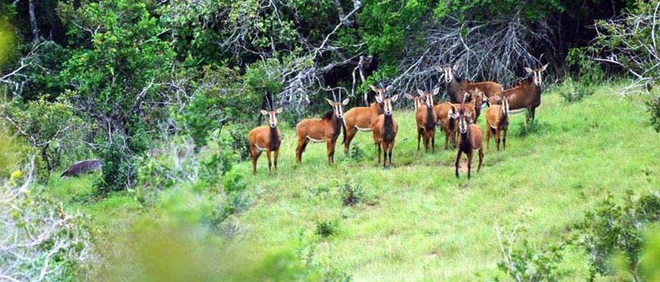 Branco di antilopi - Shimba Hills