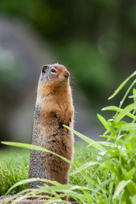 Ground-Squirrel - Kanada 2011