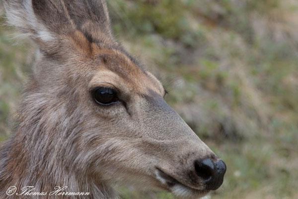Deer - Kanada 2011