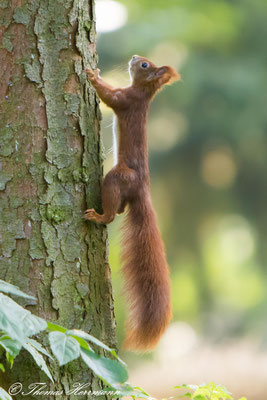 Kletterkünstler Eichhörnchen - 2016