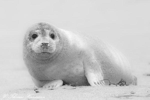 Heuler auf Helgolands Düne 2016