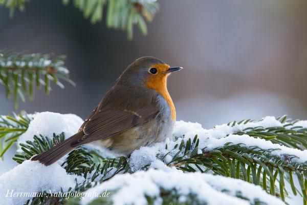 ... Rotkehlchen im Schnee