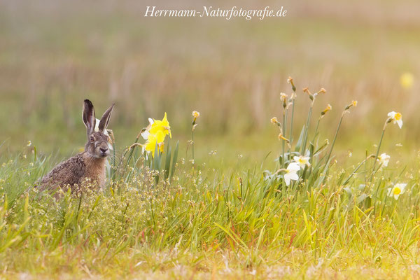 Feldhase im Frühling