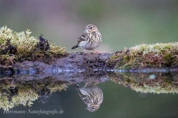 Wiesenpieper spiegelt sich im Wasser