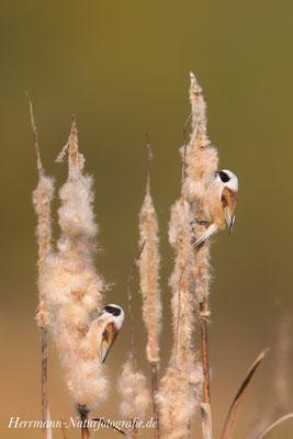 Auf der Suche nach Baumaterial für das Nest