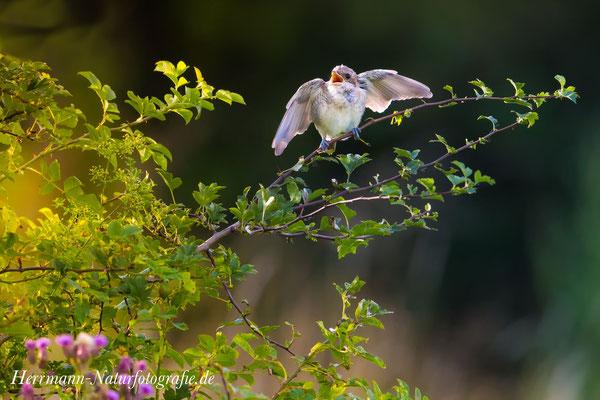 Neuntöter (Jungvogel) - 2017