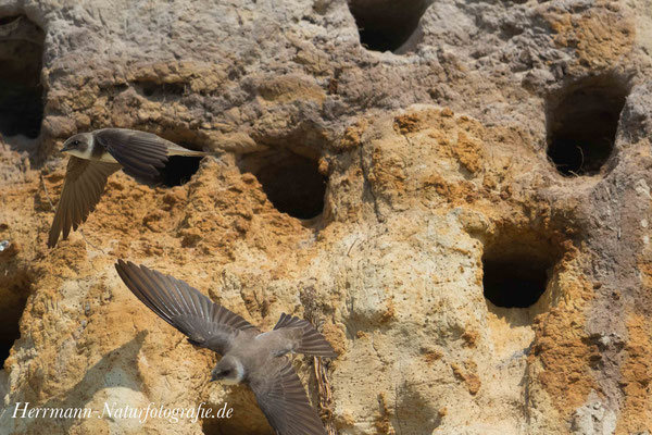 Uferschwalbe