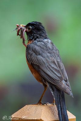 American Robin - Wanderdrossel - Kanada 2011