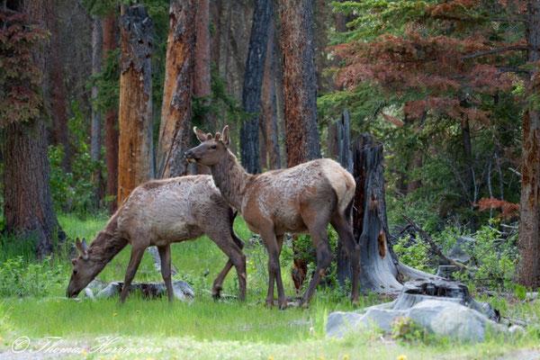 Deer - Banff N.P. - Kanada 2011