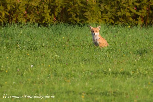Fuchs genießt die Sonne