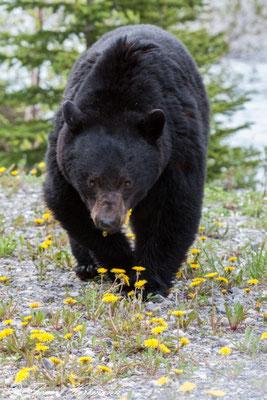 Schwarzbär - Jasper N.P. - Kanada 2011