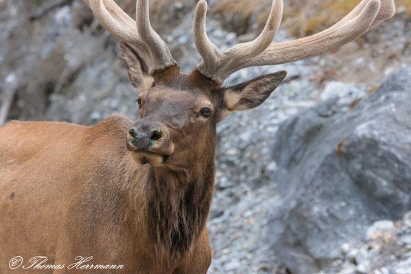 Elk - Kanada 2011