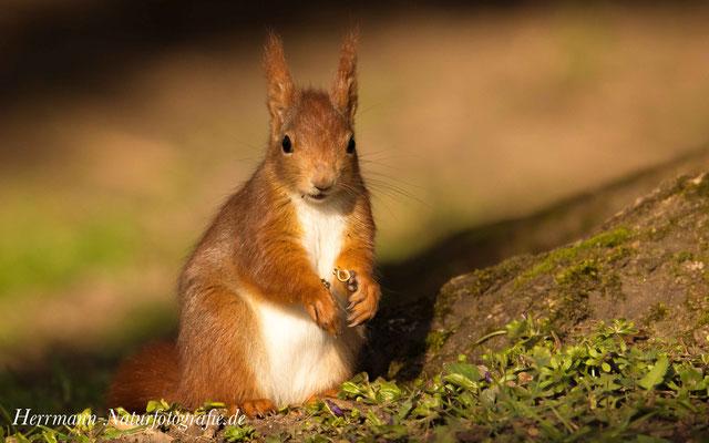 Eichhörnchen beim fressen