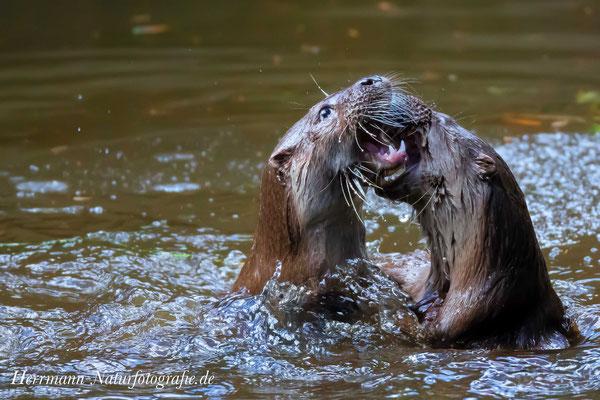zwei Fischotter- Rivalen kämpfen um die Vorherrschaft im Revier - 2016