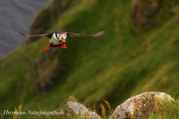 Papageientaucher im Flug mit Beute im Schnabel