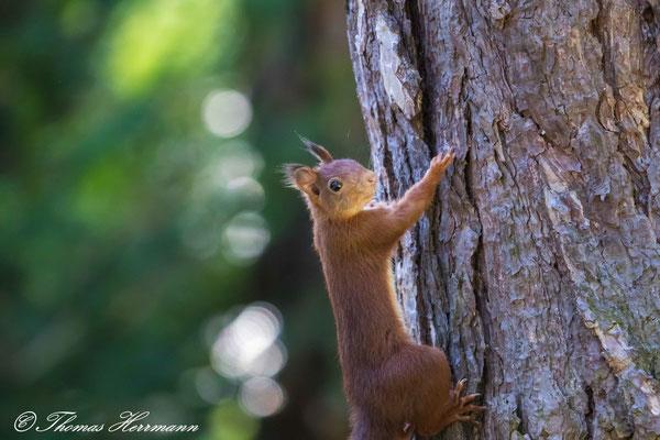 Eichhörnchen - Herbst 2016