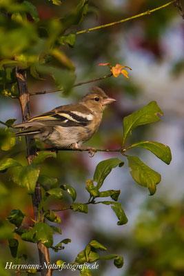 Buchfink Weibchen