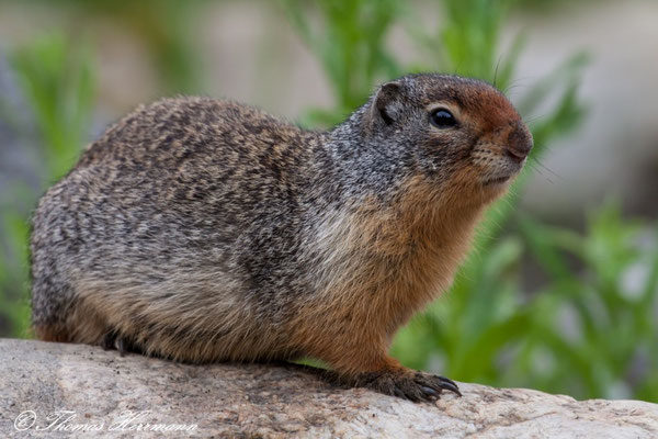 Ground-Squirrel - Kanada 2011