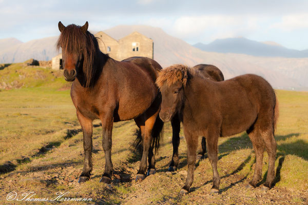 Island-Pferde 2013