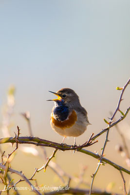 Blaukehlchen Männchen singt aus voller Brust