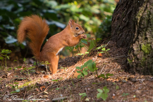 auf der Nahrungssuche für den Winter - Eichhörnchen 2016
