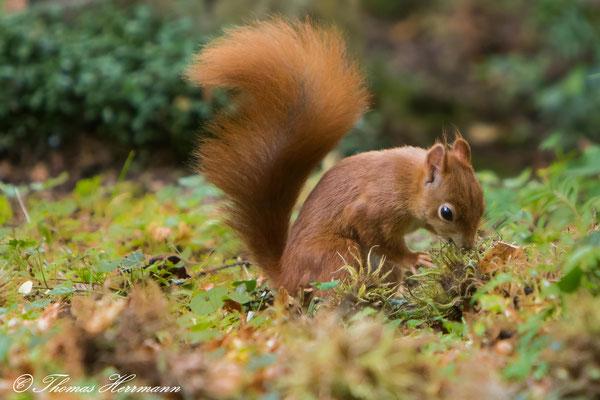 Eichhörnchen im Herbst 2016
