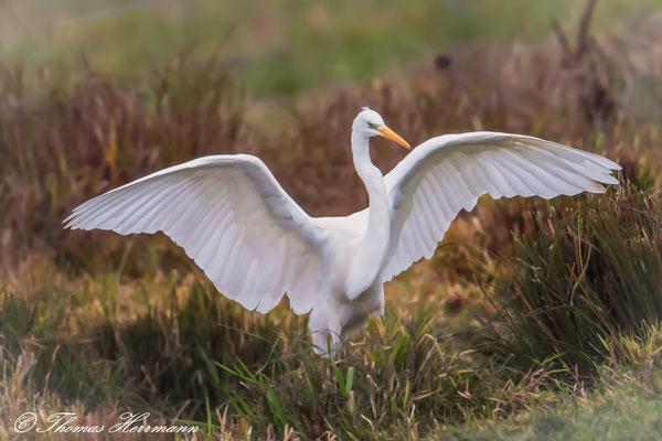 prachtvolle Flügelspannweite eines Silberreihers - 2016