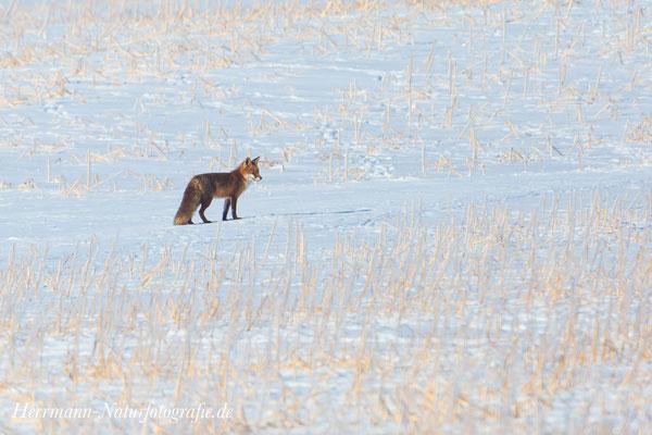 Fuchs auf einem winterlichen Stoppelfeld