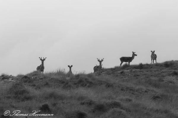 Hirschrudel in den schottischen Highlands
