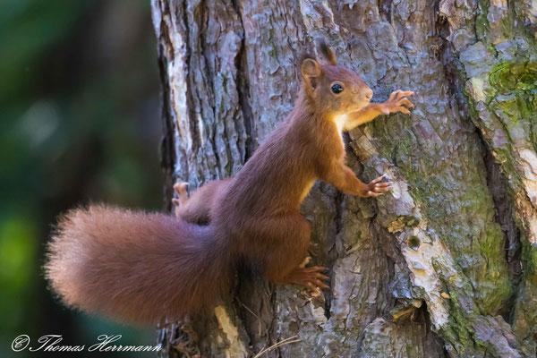flinker Geselle - Eichhörnchen 2016