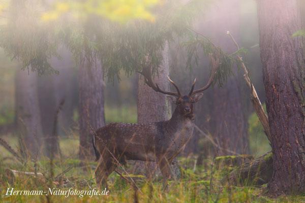 feuchte Nebelschwaden umhüllen den Damhirsch