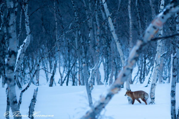 Rotfuchs - finnisch Lappland 2015