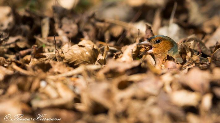 Buchfink raschelt im Laub