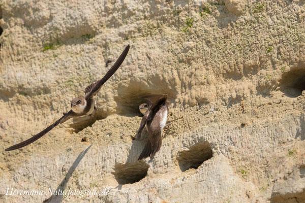 Uferschwalben im Anflug