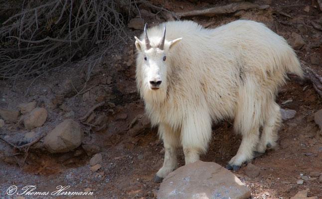 White-Goat - Schneeziege - Kanada 2011