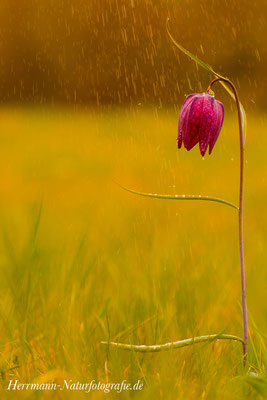 Schachbrettblume im Frühlingsregen
