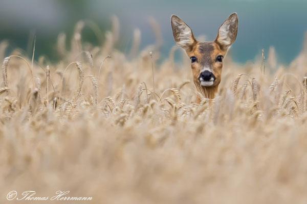 Reh im Weizenfeld